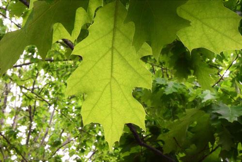 pin oak,picture