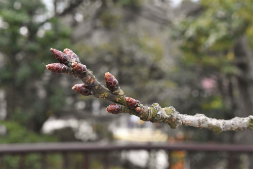 右近,桜,うこん,黄色い桜