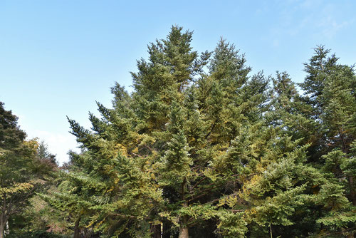 Nikko Fir tree