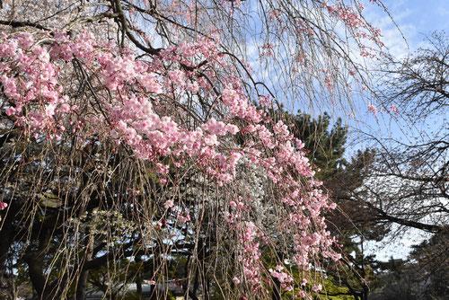 紅枝垂れ,桜