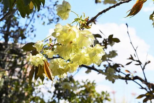 ウコン桜,きいろの桜,種類,名前