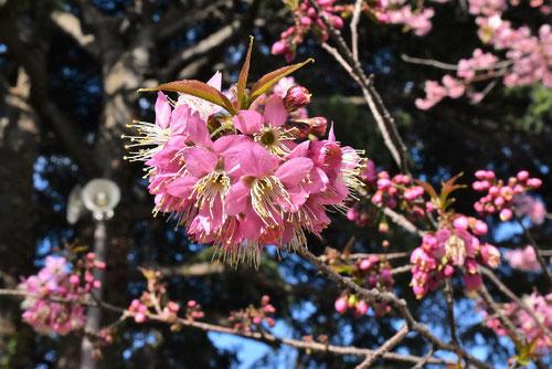 Wild Himalayan Cherry,flower
