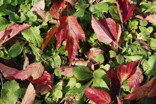カラコギカエデの紅葉