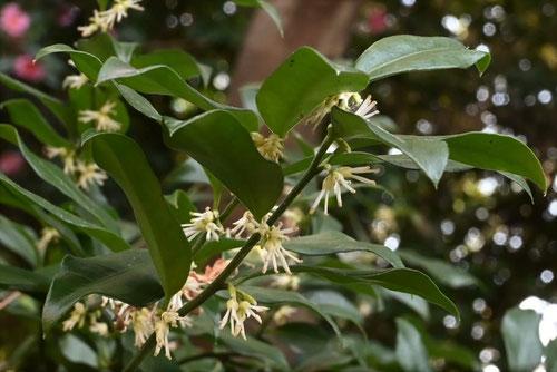 冬に咲く木の花,白,匂い