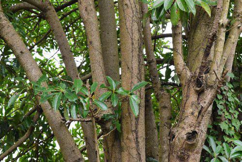 stem of Sweet viburnum