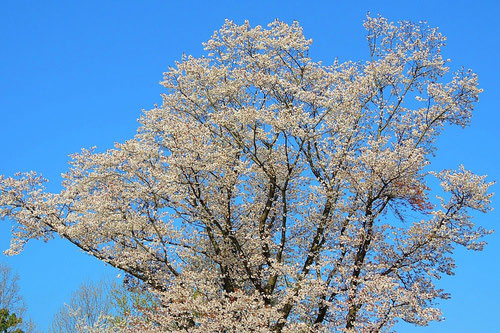wild cherry tree,flower