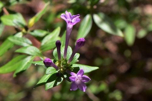 シチョウゲ 花 画像