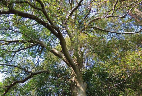 リンボクという木,りんぼく,特徴