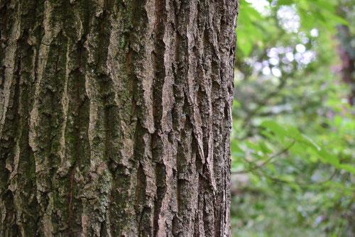 小楢 樹木 特徴