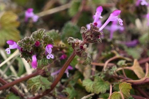 ホトケノザの花,画像