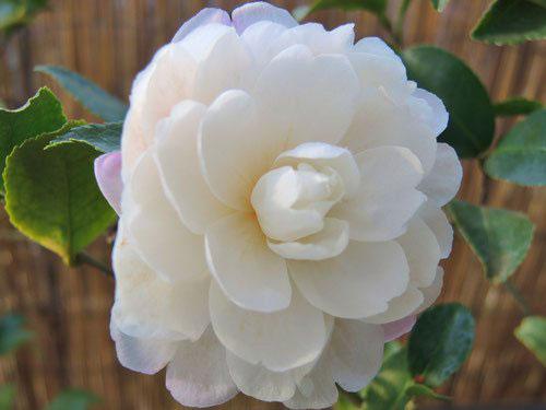 白い花のカンツバキ