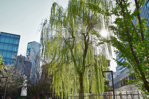 ヤナギの木,新橋