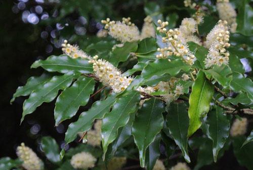 ヒイラギガシ 開花時期
