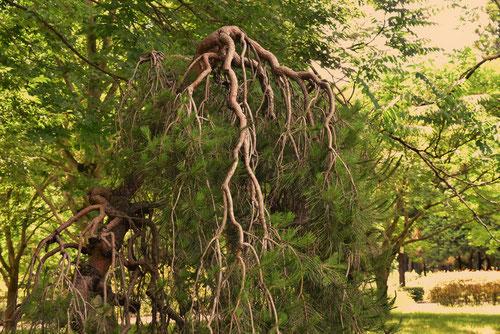 枝垂れ赤松
