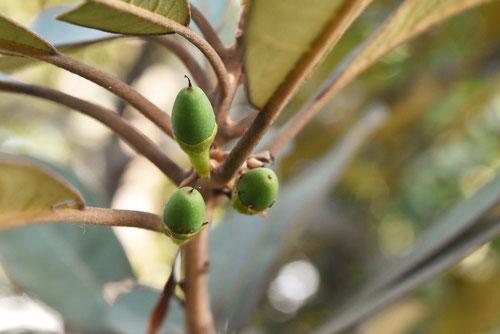 浜枇杷の果実