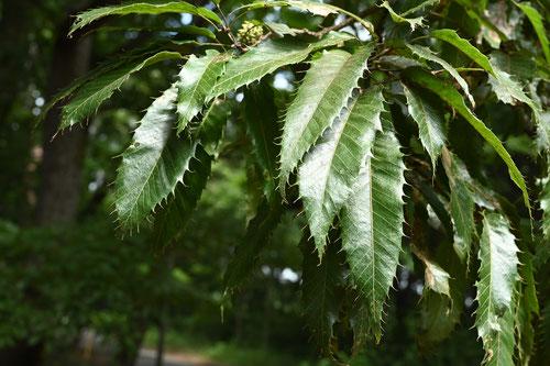 クヌギの葉っぱ 画像