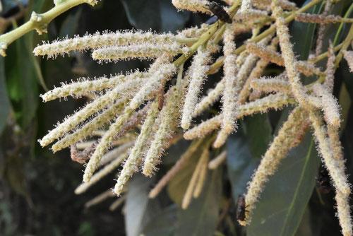 シリブカガシの木の花