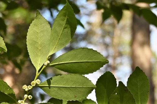 ひさかきの木