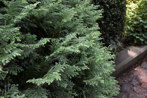 蛍桧葉,ほたるひば