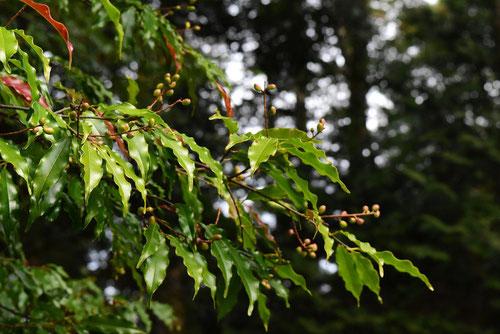 リンボク 樹木 写真