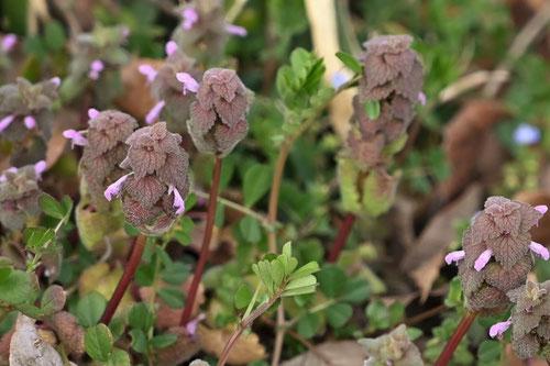 ピンク色の花が咲く雑草の名前