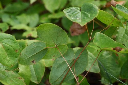 いかりそう,茎,葉