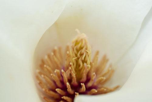 モクレンの花 画像