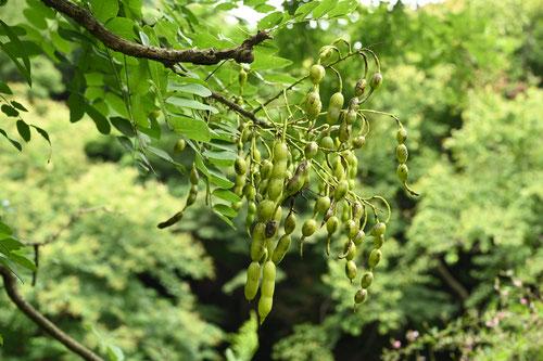 槐 種子 果実