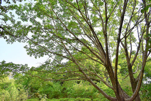 ひとつばたご 木