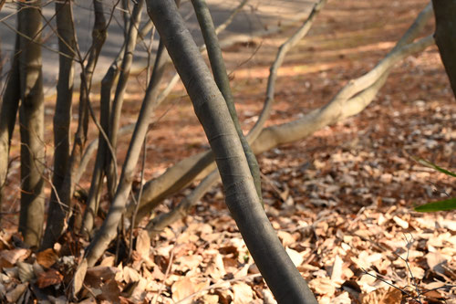 ホウキヤシオの木