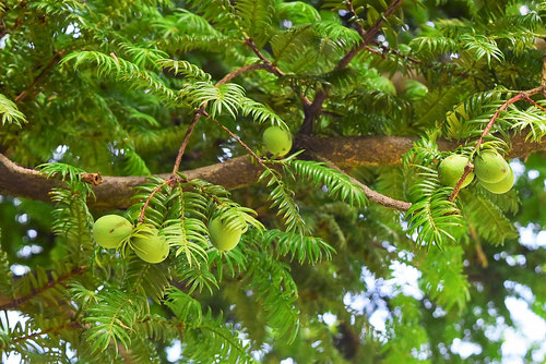 Torreya,fruits