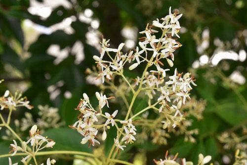シマトネリコの開花時期.しまとねりこ,庭木図鑑