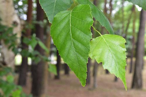シラカンバ,しらかんば,葉っぱ,画像