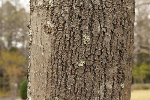 シオジの木,幹