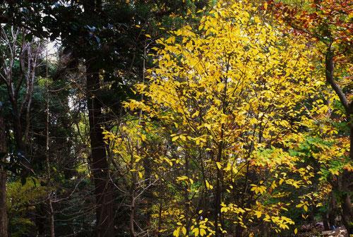 クロモジ 紅葉 黄葉