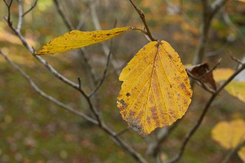 万作の木 紅葉