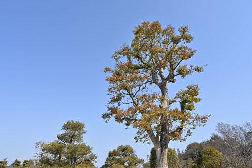 黒鉄黐の木,植木