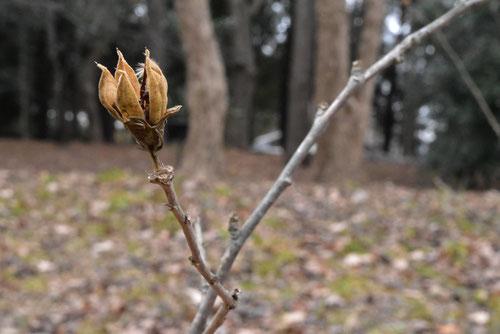 ムクゲ,冬季