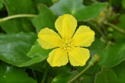 アサザ,花の画像