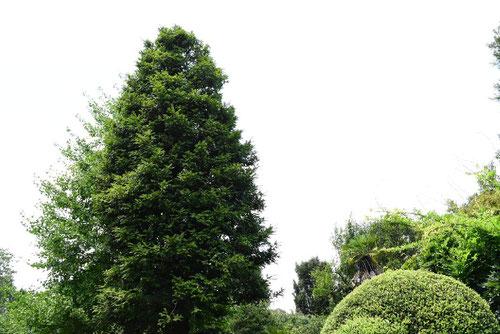カヤの木,樹木図鑑