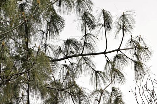 ぼた松の木