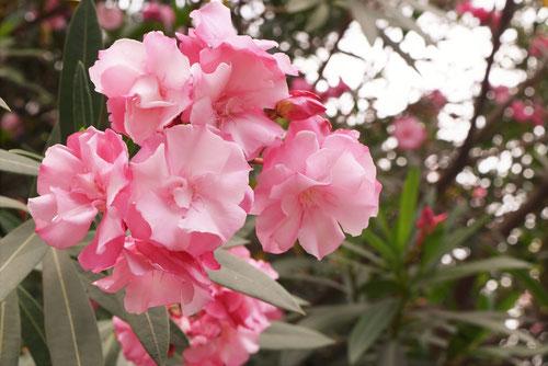 夾竹桃の種類
