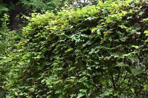 Japanese wild grapevine