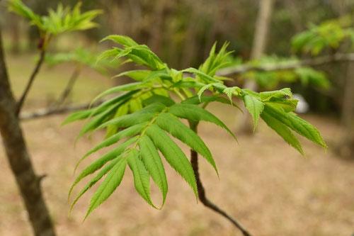 Japanese Rowan,leaf