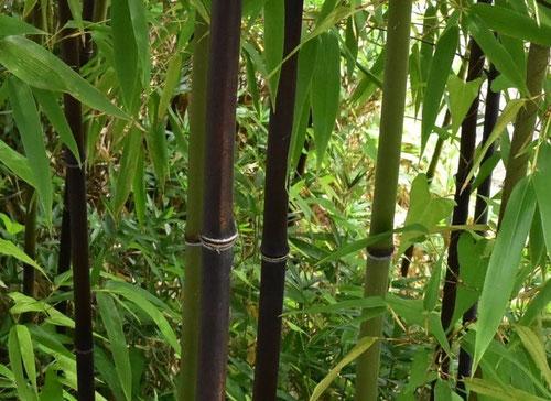 くろだけ,色が黒い竹の種類
