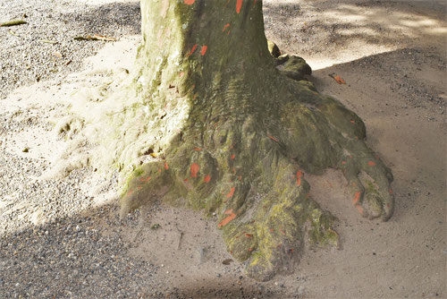 香取神宮,ナギの木,なぎ