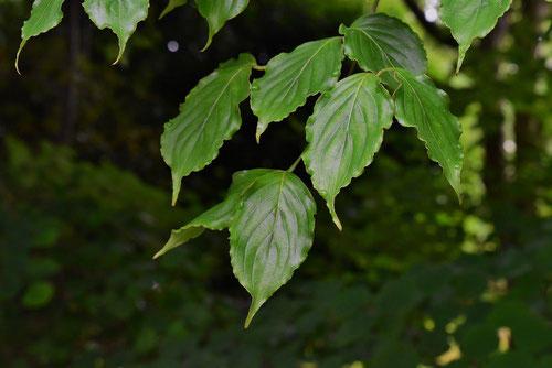 Japanese flowering dogwood,leaf