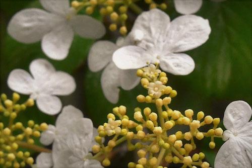 やぶでまり,白い花
