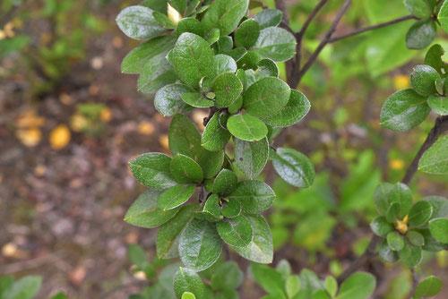 マルバサツキの葉