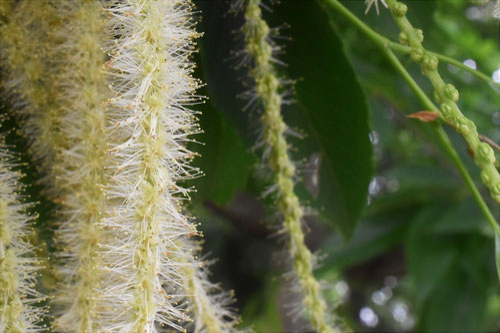 栗の花,雌雄,くり